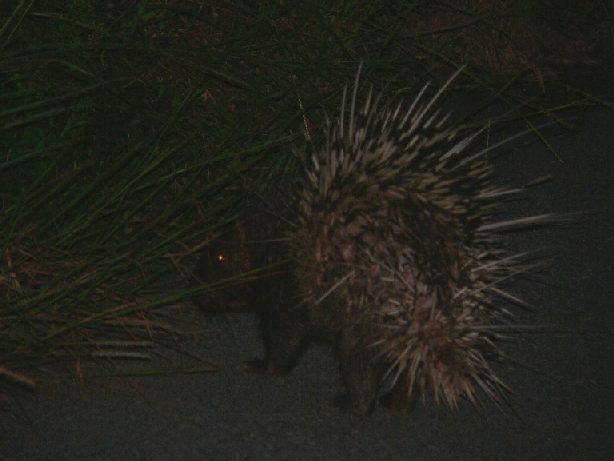 porpcupine